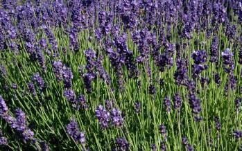 Les herbes remeieres més habituals als nostres camps i boscos